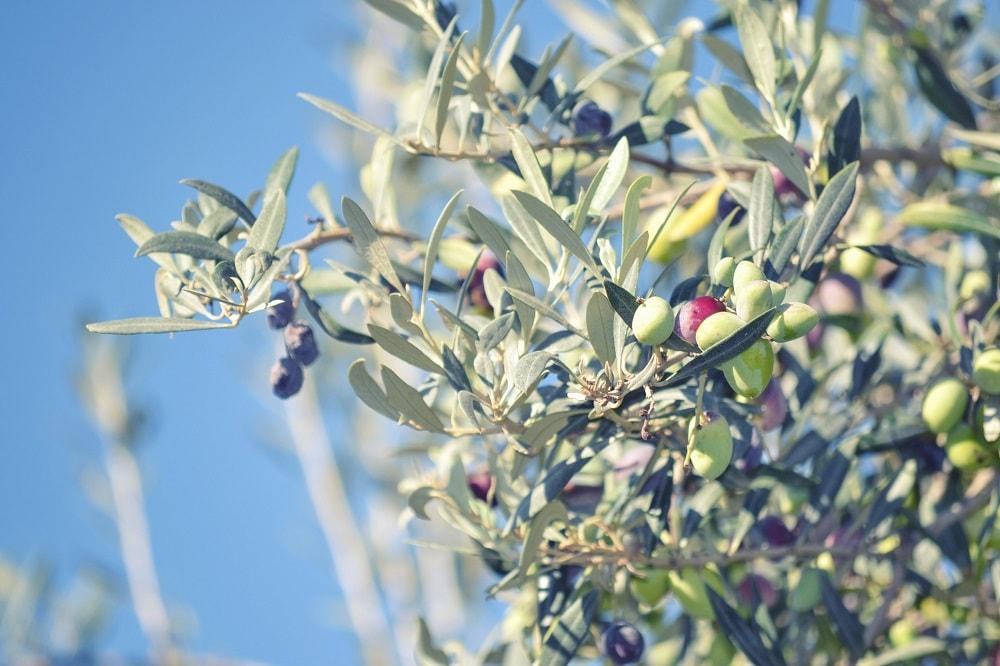oliva da mensa varietà termite di bitetto