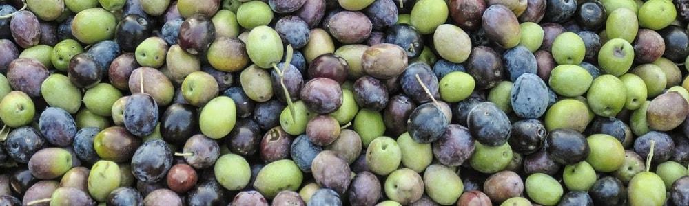 oliva da mensa varietà termite di bitetto variety green olive copertina